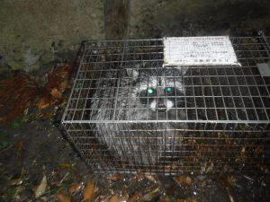 福井県鯖江市 アライグマ 捕獲罠 捕獲